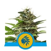Tatanka Pure CBD (Royal Queen Seeds) feminized