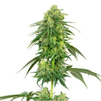Strawberry Kush (White Label) feminisiert