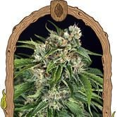 Sir Jack Auto Pure CBD (Exotic Seed) feminisiert