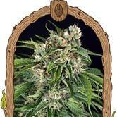 Sir Jack Auto Pure CBD (Exotic Seed) feminized