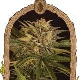 Doctor Greenman Pure CBD (Exotic Seed) feminized