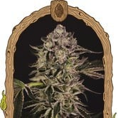 Quick Sherbet (Exotic Seed) feminized