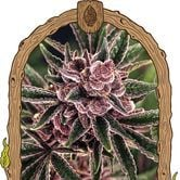 Tropical Fuel (Exotic Seed) feminized