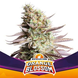 Orange Blossom (BSF Seeds) feminized