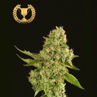 Kuchi (Devil's Harvest) feminized