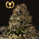 Strawberry Sour Diesel (Devil's Harvest) feminisiert