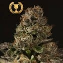 Strawberry Sour Diesel (Devil's Harvest) Feminized