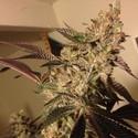 Strawberry Sour Diesel (Devil's Harvest) feminized