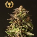 Shoreline (Devil's Harvest) feminized