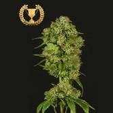 Casey Jones (Devil's Harvest Seeds) feminized