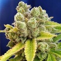 Casey Jones (Devil's Harvest Seeds) Femminizzata
