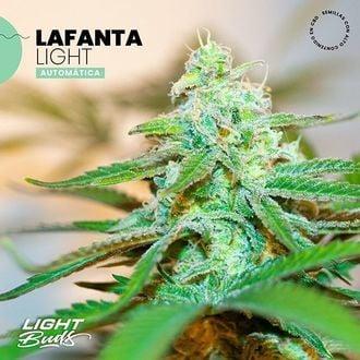 Lafanta Light Auto (Light Buds) feminized