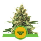 Watermelon Automatic (Royal Queen Seeds) feminized
