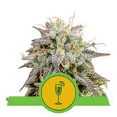 Mimosa Auto (Royal Queen Seeds) feminized