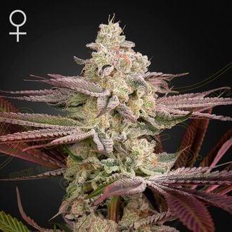 Chemical Bride (Greenhouse Seeds) feminisiert