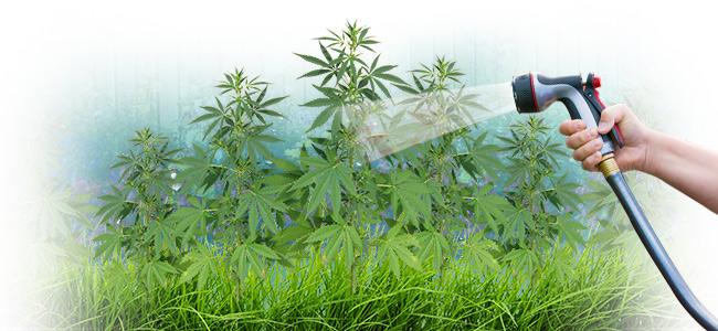 Ist Leitungswasser Für Cannabis Geeignet?