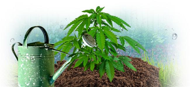 Die Richtige Bewässerung Deiner Cannabispflanzen