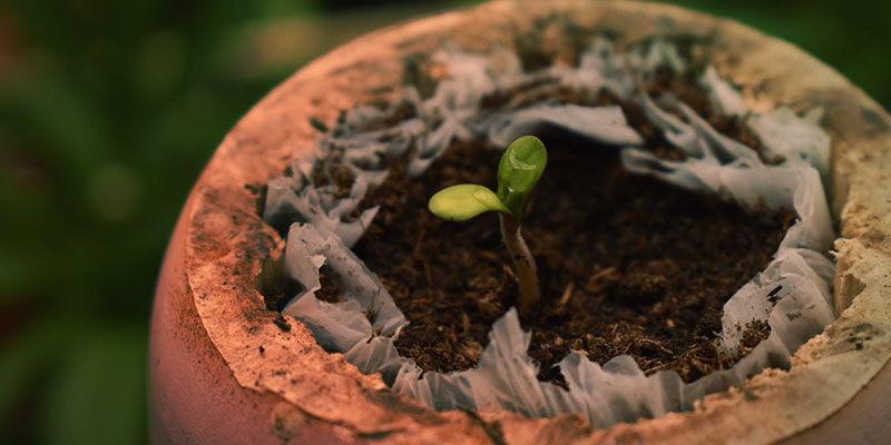 Blueberry Anbauen