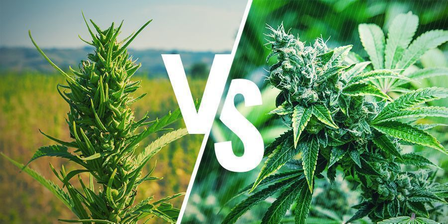 Aussehen Cannabis