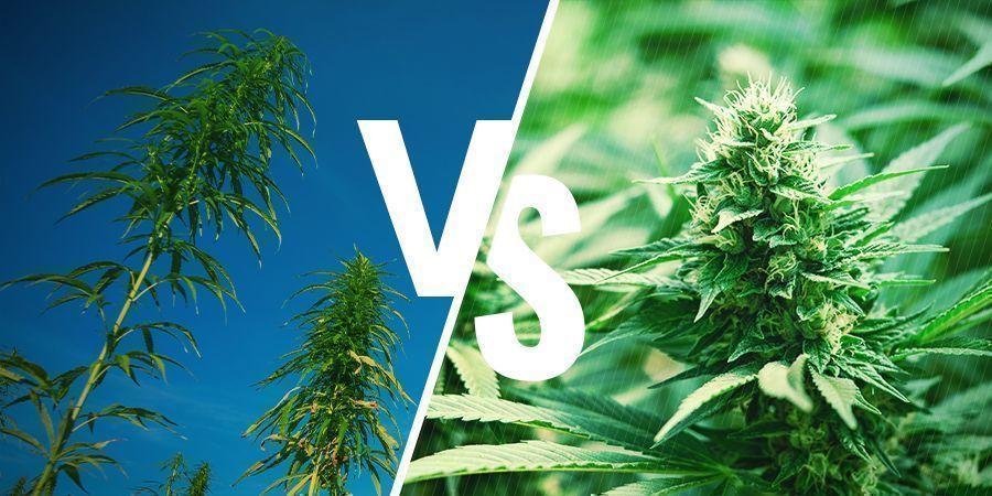 Anbau Cannabis