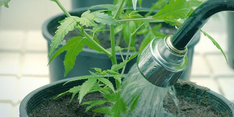 Wie Du eine Nährstoffsperre bei Cannabis beheben kannst
