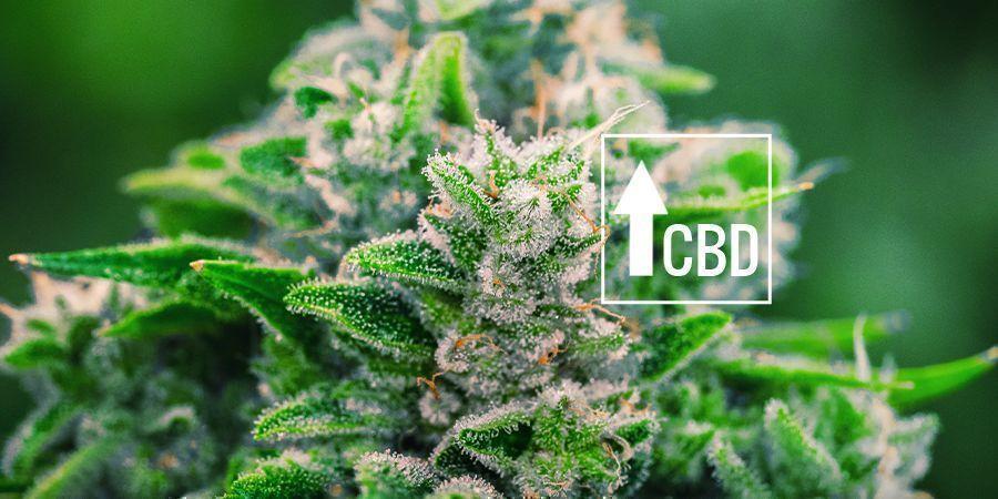 Cannabis Ruderalis: VERÄNDERUNG DER SZENE