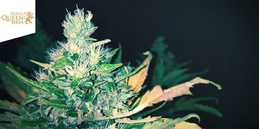 Stress Killer Automatic (Royal Queen Seeds)