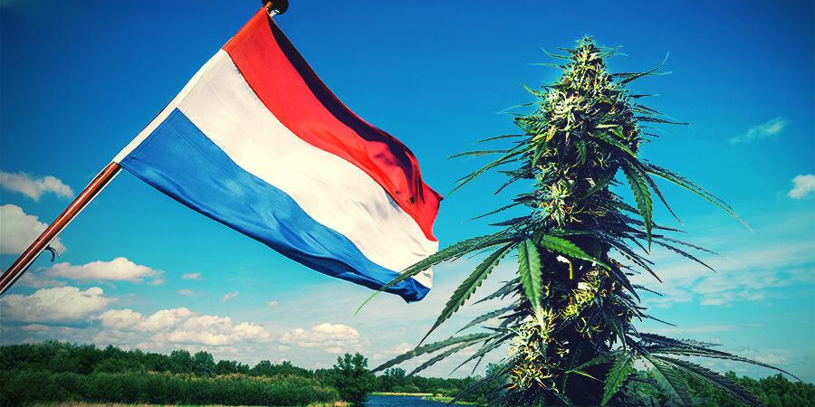Cannabisanbau Im Niederländischen Klima
