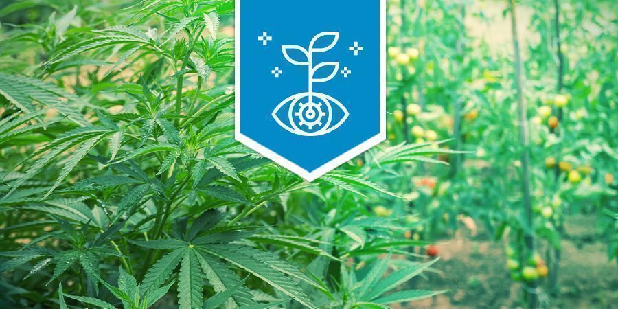 Cannabis Als Begleitpflanze