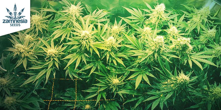 Sour Diesel Zamnesia Seeds