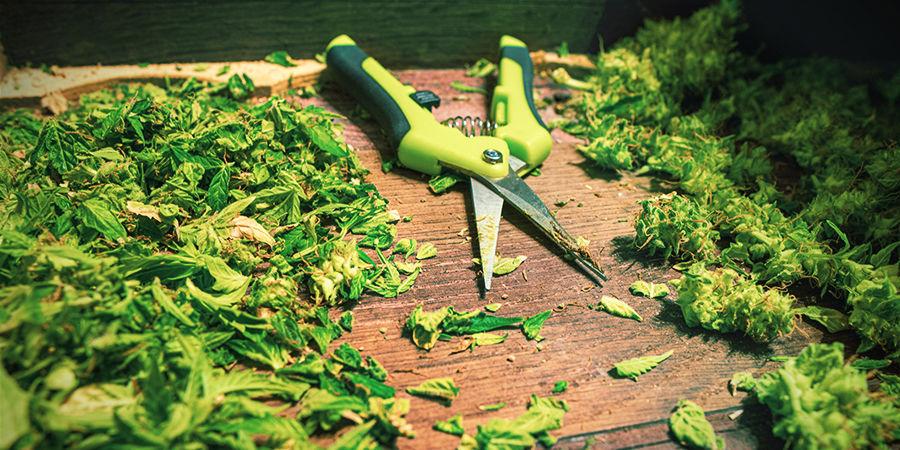 Tipps für die Verwendung von Cannabis-Erntescheren: Kratze überschüssiges Harz ab