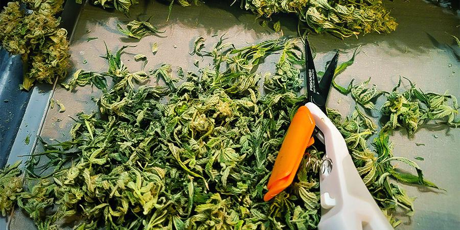 Warum es wichtig ist, Cannabis-Erntescheren zu reinigen und zu pflegen