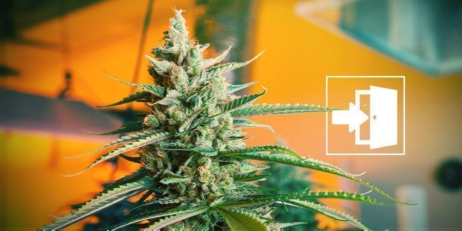 Cannabis Drinnen Anbauen