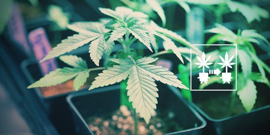 Verwende Cannabis Stecklinge
