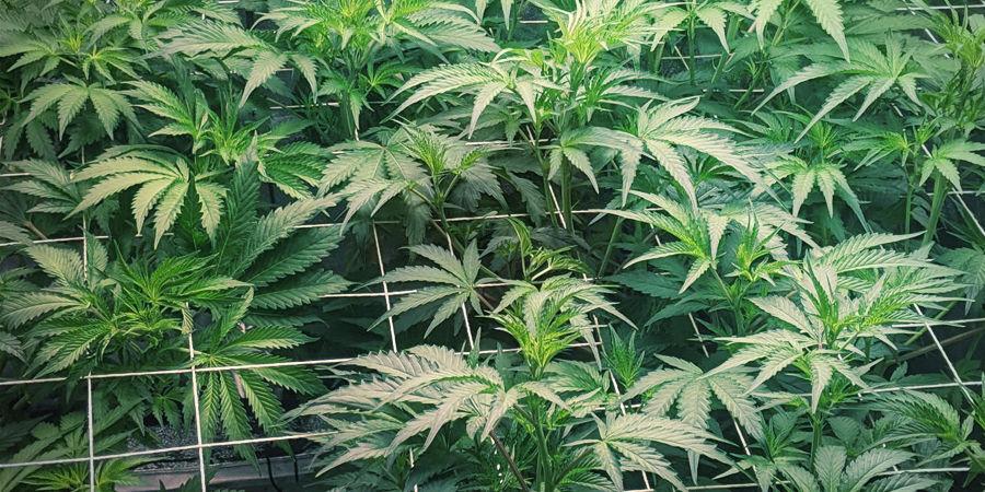 Cannabispflanzen reparieren/unterstützten: Rankgerüste