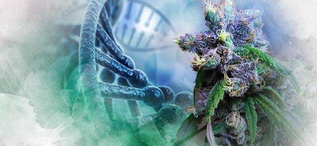 Cannabis Genetik