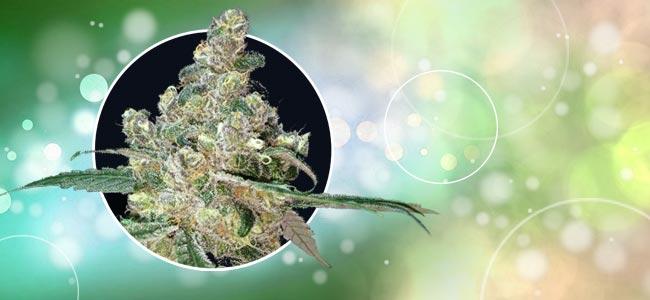 Fuchsschwanz Cannabis