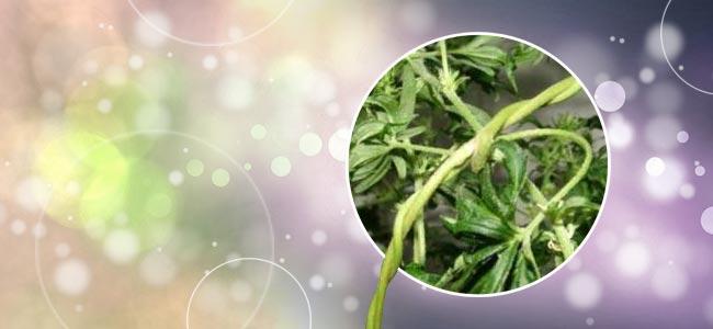 Reben-cannabis