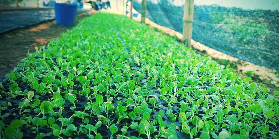 Erlerne Die Schritte Für Den Eigenen Tabakanbau