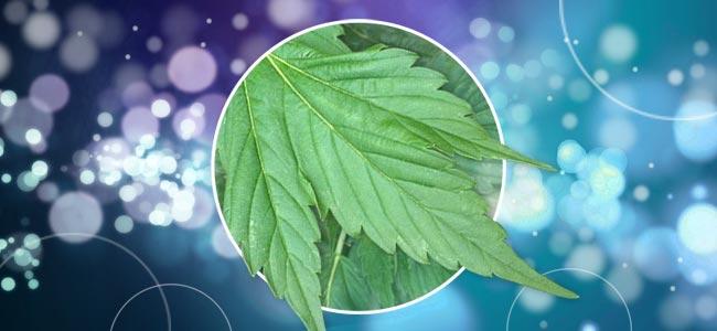 Verschieden Geformte Cannabispflanzen