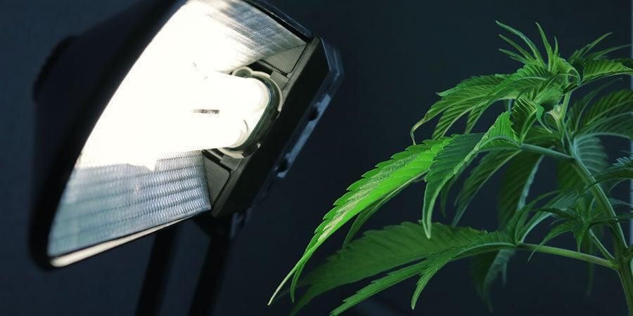 Probleme Während Cannabis Blüht: Die Beleuchtung falsch einrichten