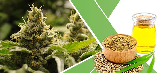 Kräuter Gewichtsabnahme: Cannabis