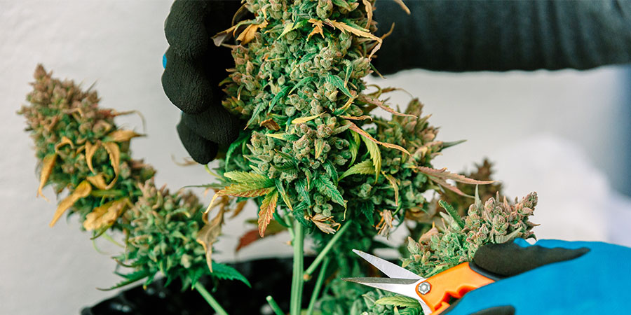 Untere Zweige Beschneiden Cannabis