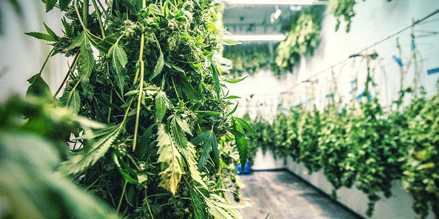 Was Ist Cannabis Trockentrimmen?