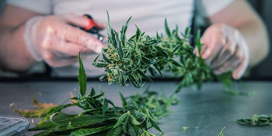 Was Ist Cannabis Nasstrimmen?