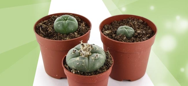 Peyote Kaktus