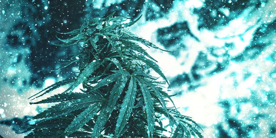 Weihnachtliche Cannabissorten
