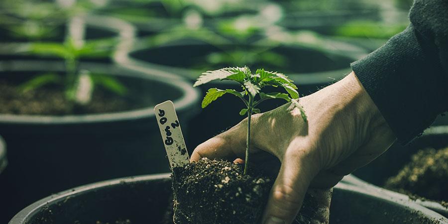 Die Vier Möglichkeiten Zur Herstellung Von ROLS - Cannabis