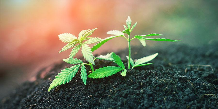 Wiederverwendeter Mutterboden - Cannabis