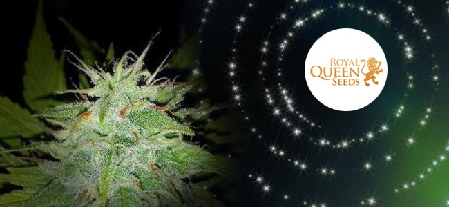 Speedy Chile - Royal Queen Seeds